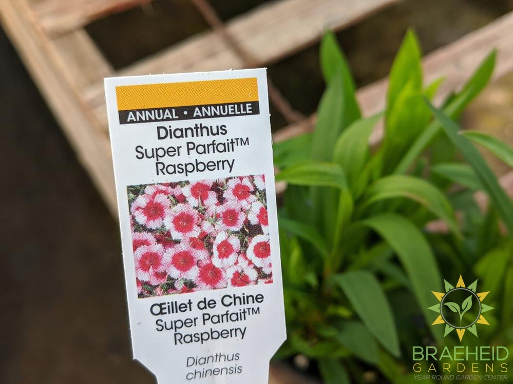 Dianthus Super Parfait 'Raspberry' - NO SHIP -