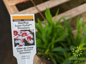 Dianthus Super Parfait 'Strawberry' - NO SHIP -