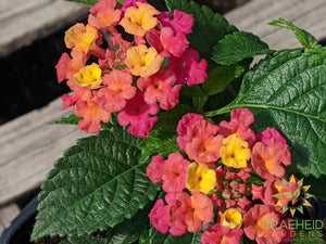 Lantana Luscious 'Royale Cosmo' PW - NO SHIP -