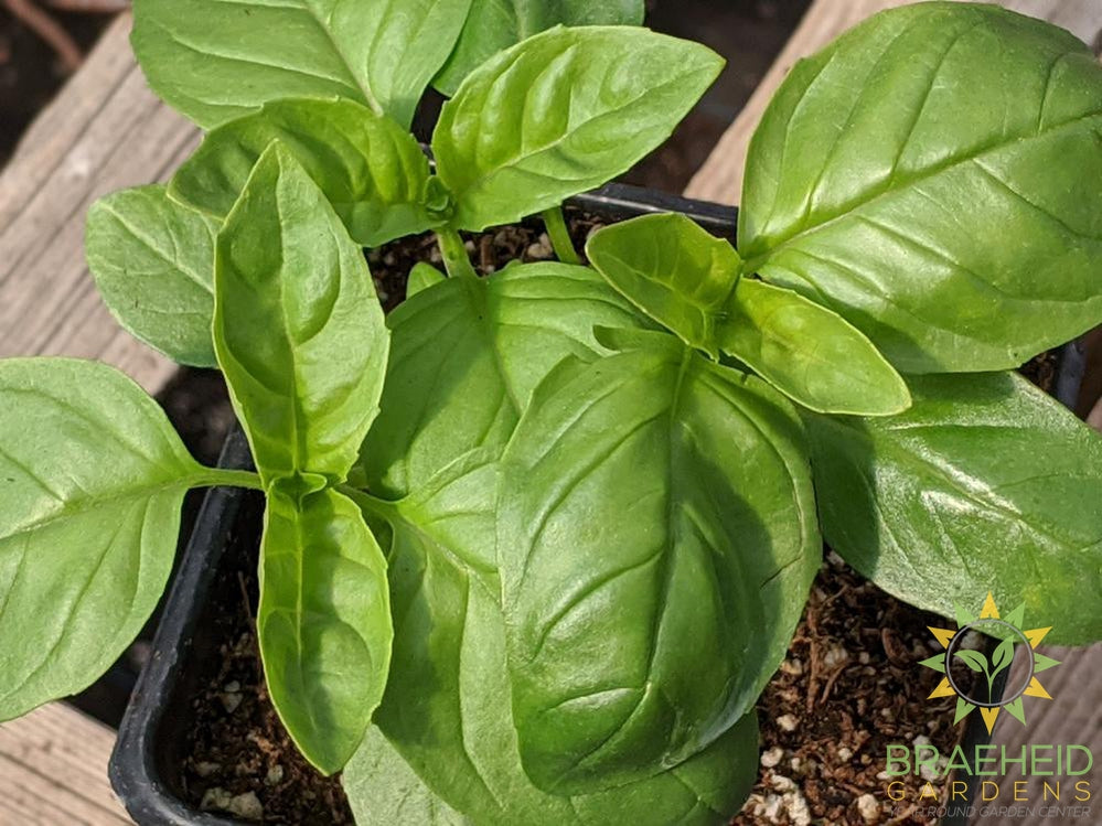Herb Basil Italian Large Leaf -NO SHIP-