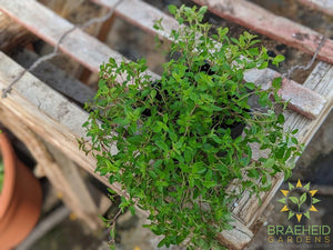 Herb English Thyme -NO SHIP-