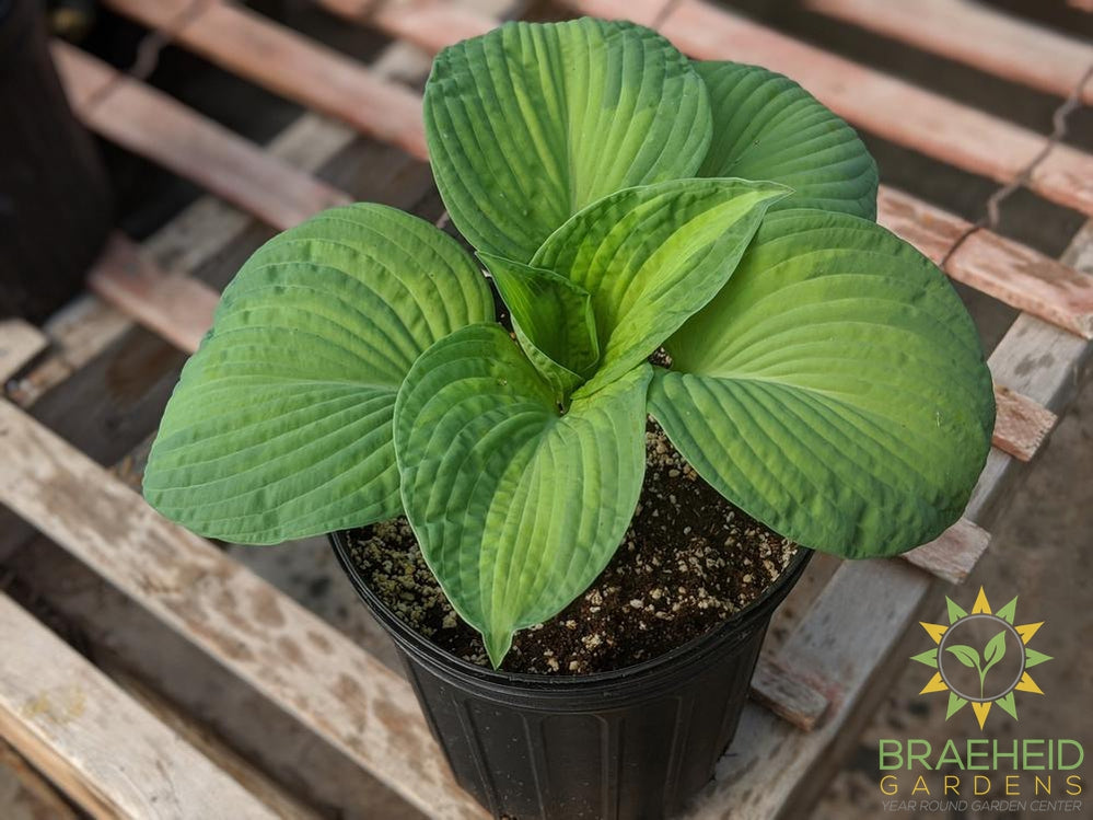 Hosta 'Brother Stefan' - NO SHIP -