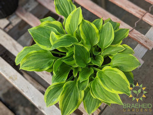 Hosta 'Color Festival' - NO SHIP -