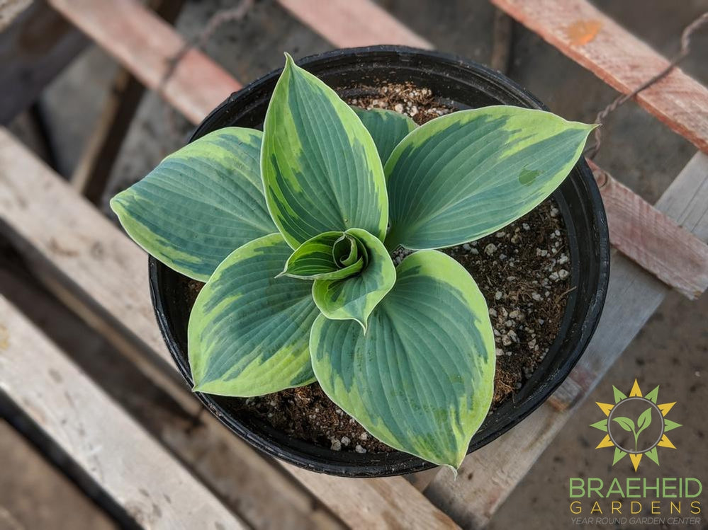Hosta 'Tootie Mae' - NO SHIP -