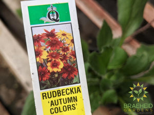 Rudbeckia 'Autumn Colors' - NO SHIP -