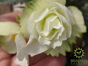 Begonia 'Illumination White' - NO SHIP -