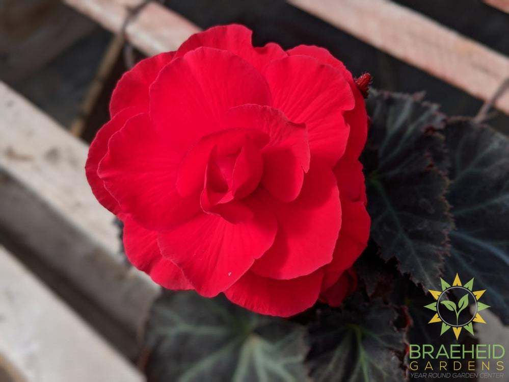 Begonia 'Nonstop Mocca Cherry' - NO SHIP -