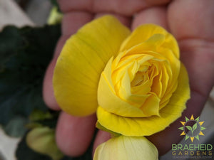 Begonia 'Illumination Lemon' - NO SHIP -