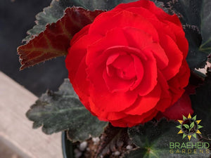 Begonia 'Nonstop Mocca Deep Orange' - NO SHIP -