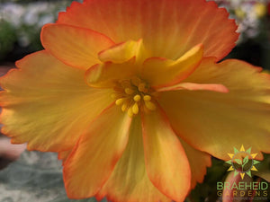 Begonia 'Illumination Golden Picotee' - NO SHIP -