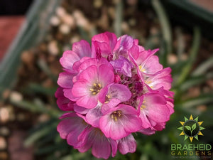 Armeria 'Rubrifolia' - NO SHIP -
