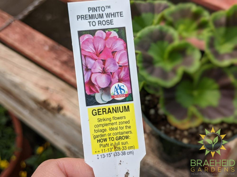 Geranium Pinto 'Premium White to Rose' - NO SHIP -