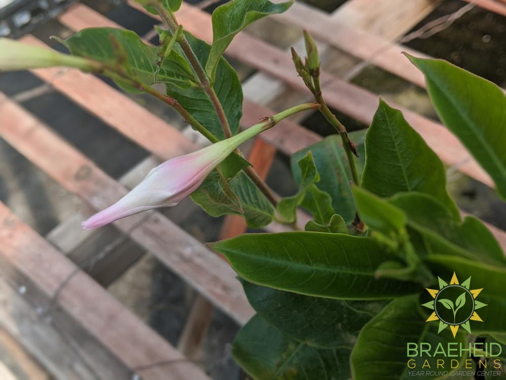 Mandevilla Bush 'Tourmaline Pink' - NO SHIP -