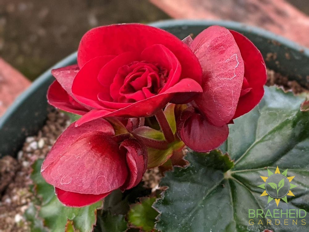 Begonia Solenia 'Velvet Red' PS - NO SHIP -