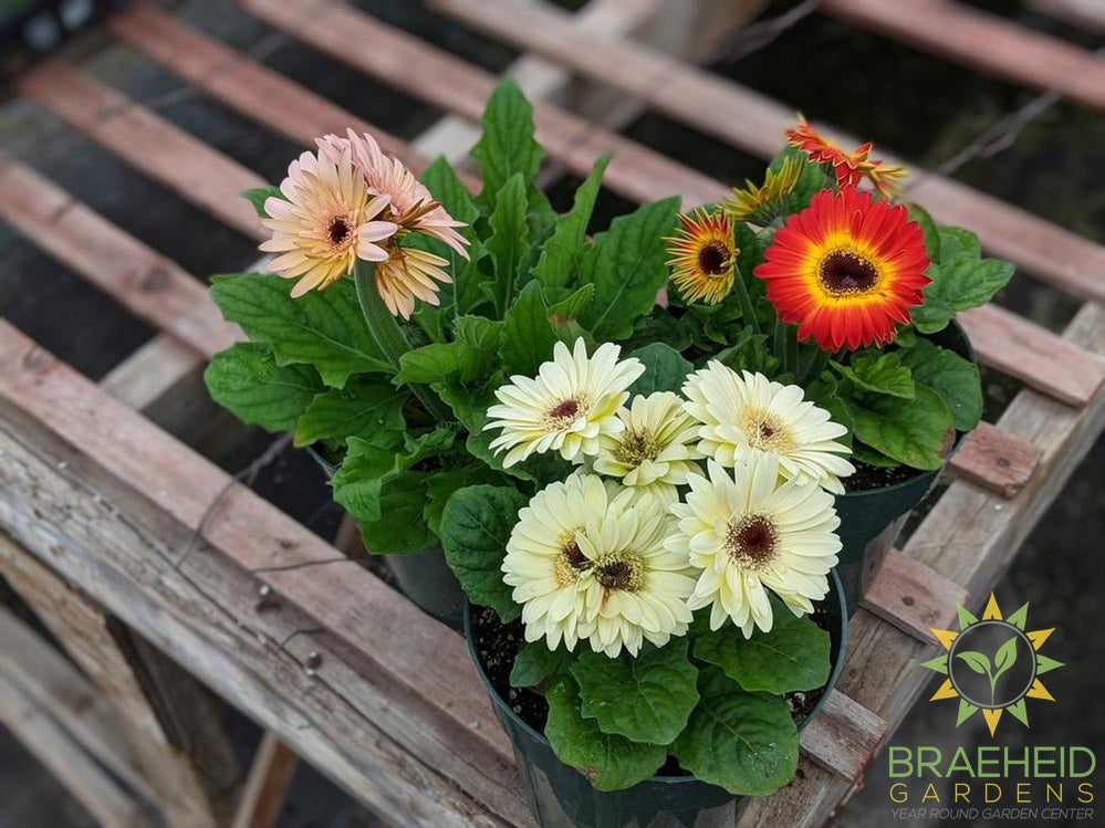 Gerbera 'Fortune Mix' - NO SHIP -