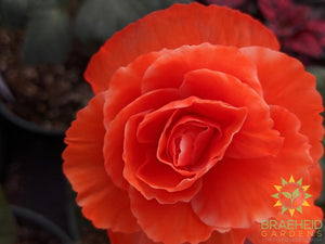 Begonia 'AmeriHybrid Picotee Mix' - NO SHIP -