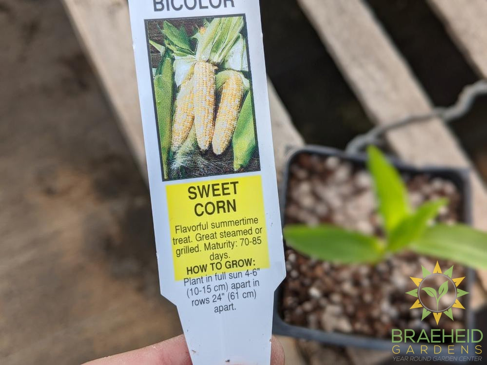 Corn 'Bicolor Sweet Corn' - NO SHIP -