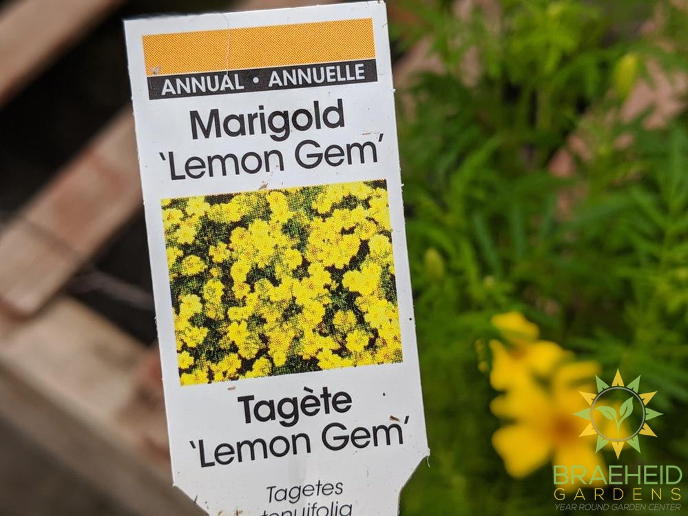 Marigold 'Lemon Gem' - NO SHIP -