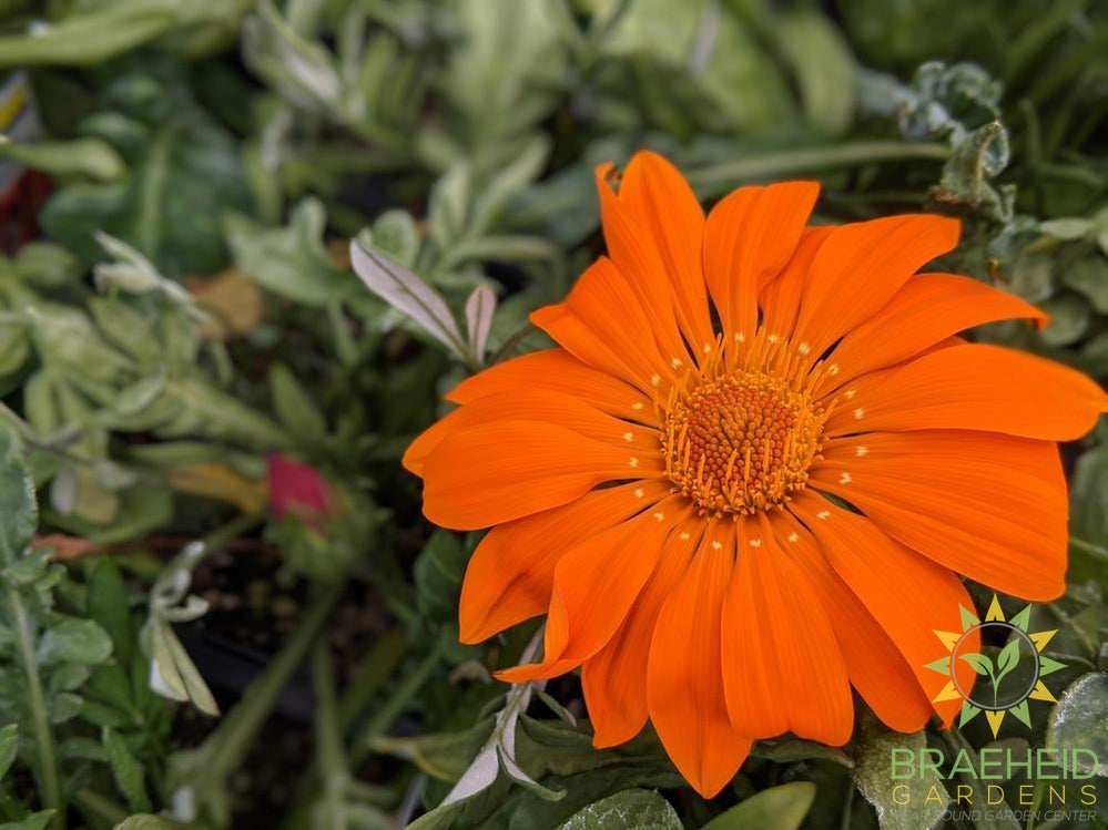 Gazania 'New Day Mix' - NO SHIP -