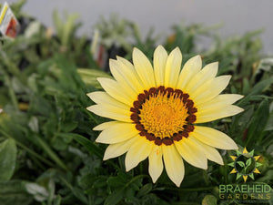 Gazania New Day 'Yellow' - NO SHIP -