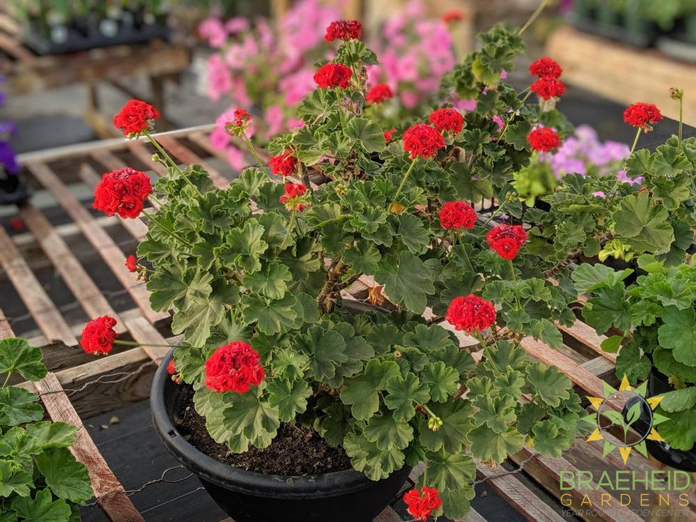 Old Rose Geranium Ships free in Canada