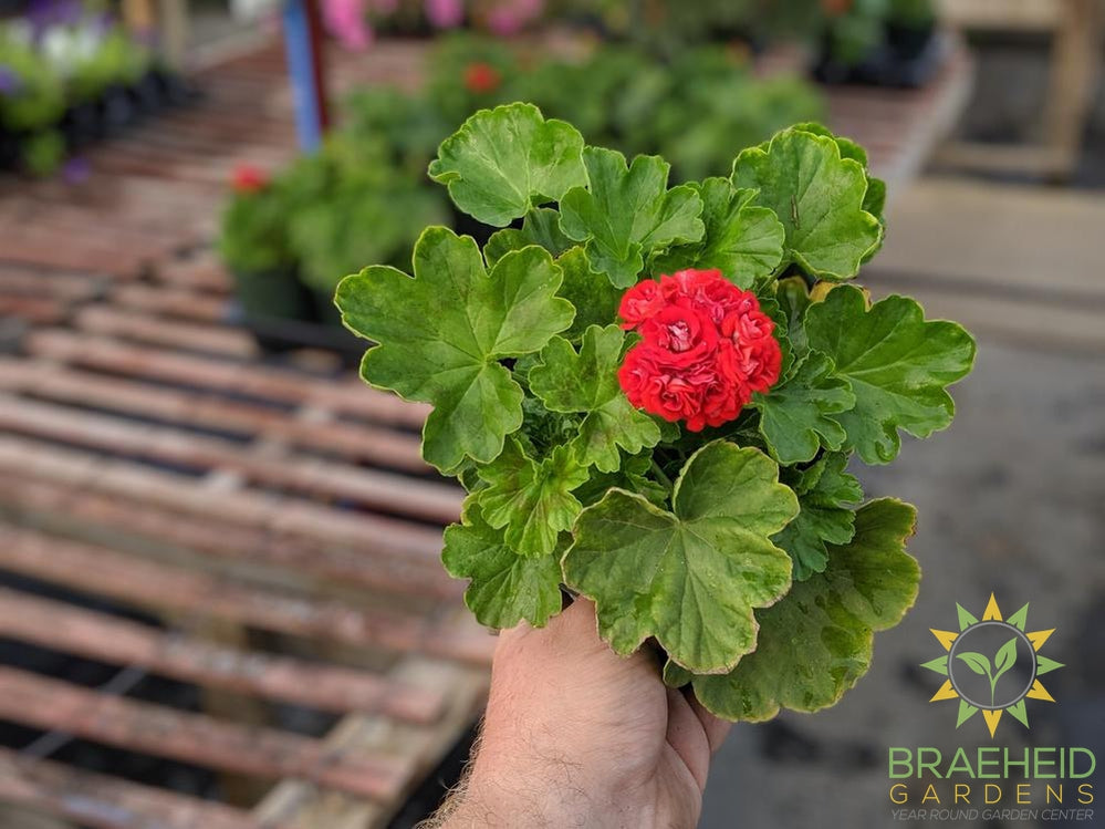 Red Rose Geranium | Free shipping in Canada
