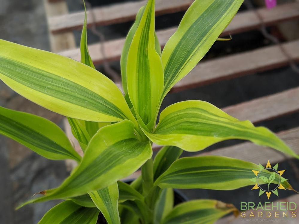 Ribbon Plant - Lime