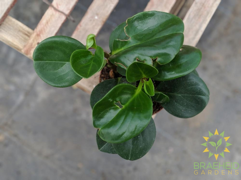 Green peperomia plant ship across canada