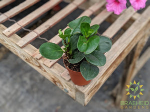 Buy Peperomia plants online in Canada