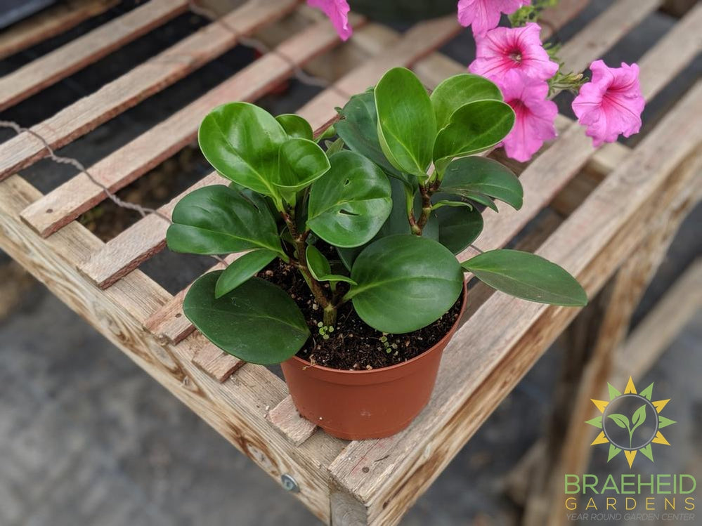 shop peperomia houseplants in Canada