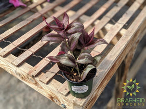 Wandering Jew, For sale free shipping Canada