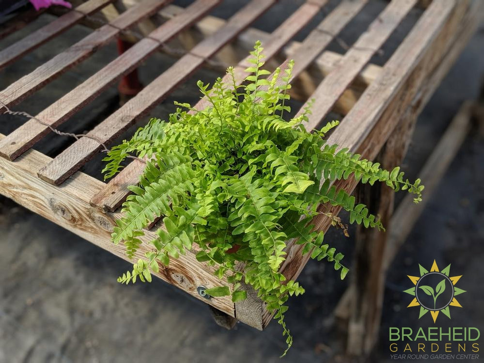 Boston Fern, Ship free in Canada, Browse more houseplants.