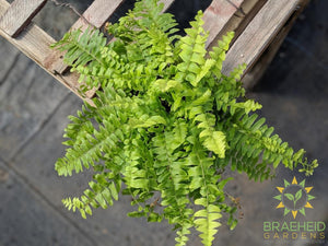Boston Fern | Buy today qualify for free shipping