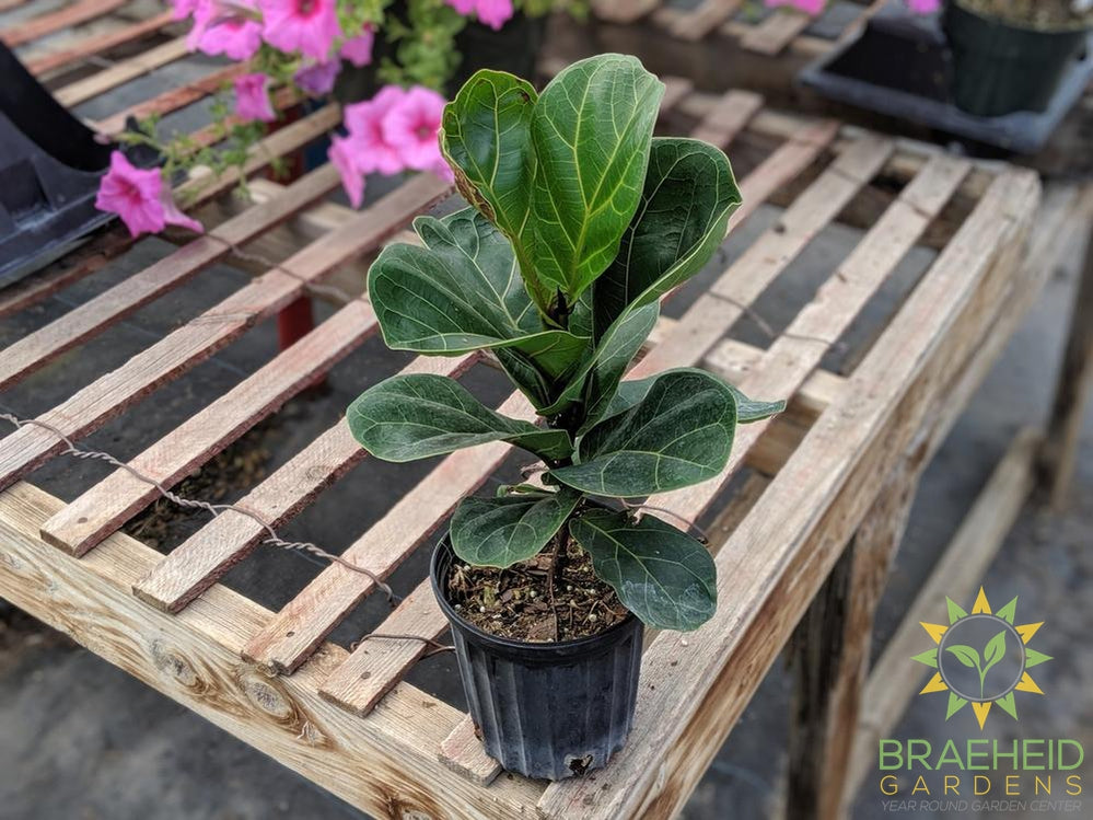 Ficus Bambino, FREE SHIPPING Canada | Browse more