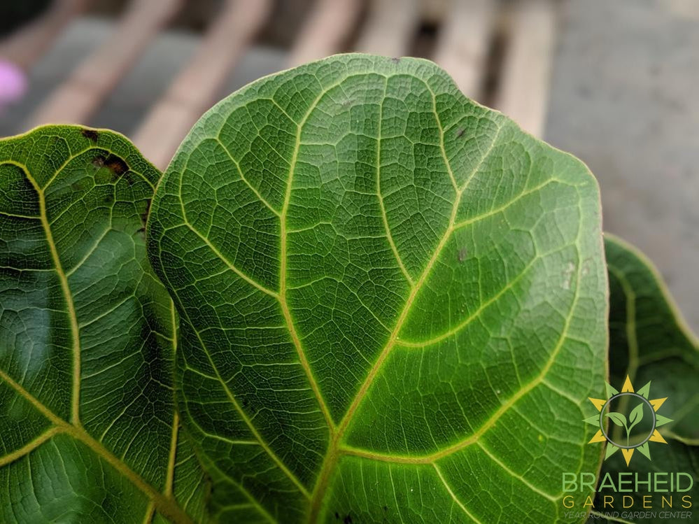 Foilage on Ficus Bambino | Buy Canada