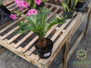 Buy Sago Palm online | Free shipping Canada