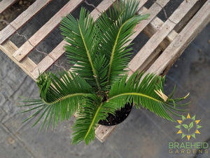 Stiff Palm, Click for name | Free shipping Canada