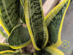 Leaf design on Sansevieria Laurentii, Buy Canada