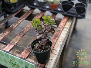 Baby Jade (Crassula Ovata Minor)