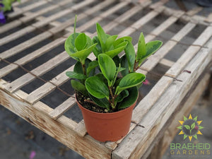 Green Veriegated peperomia
