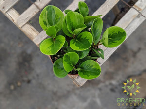 Browse peperomia online, Free shipping