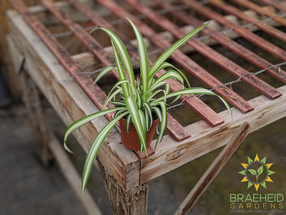 Spider plant, available with free shipping across Canada