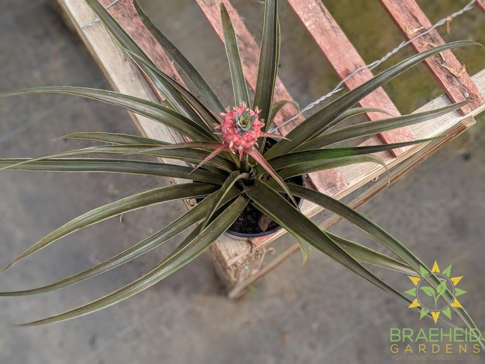 Pineapple plant | Order today online.