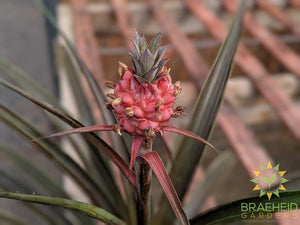 Pineapple on plant for sale in Canada | BUY Online