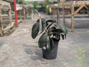 Large Rubber Tree - Ficus Robusta - NO SHIP