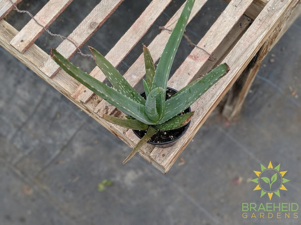 Browse Aloe online. Medicinal & Ornamental