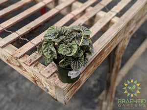 Buy Peperomia Silver Ripple Online | Free shipping Canada