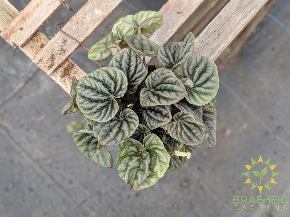 Stunning Peperomia, Click for name | Free shipping
