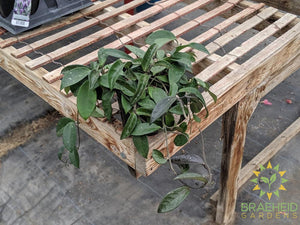 Hoya Carnosa Wax Plant | Buy in Canada