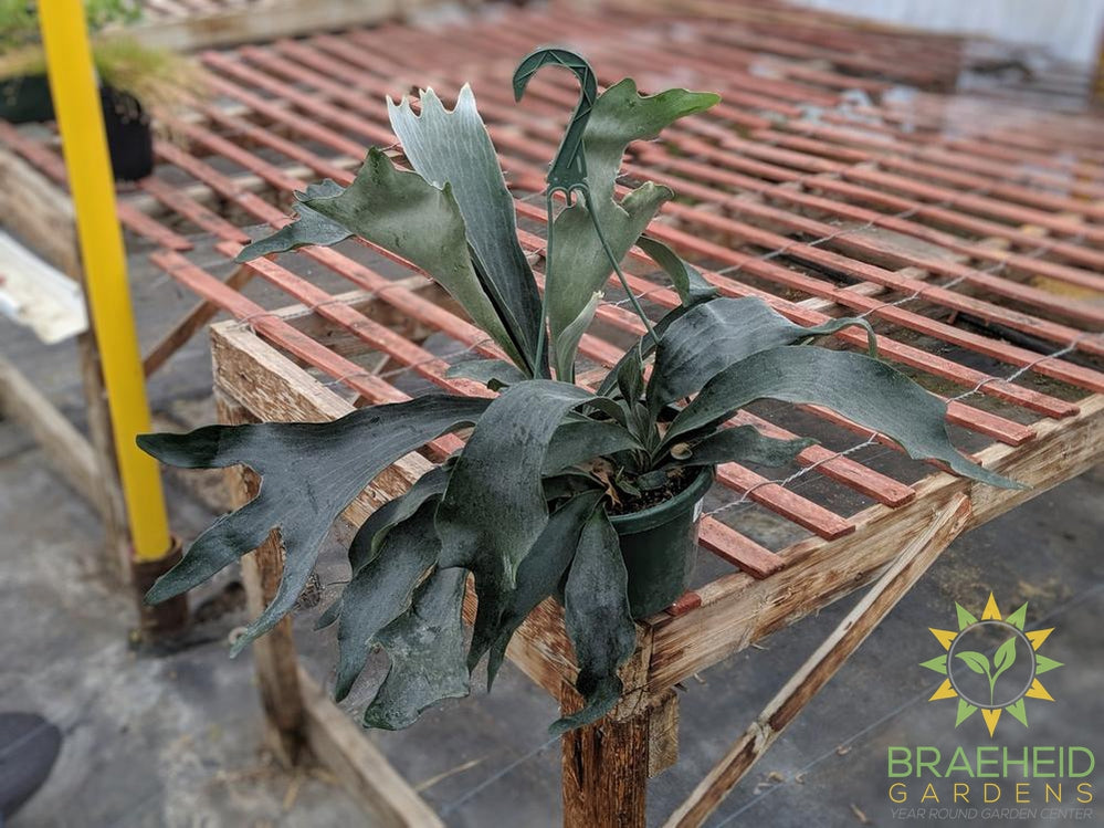 Staghorn Fern Hanging Basket